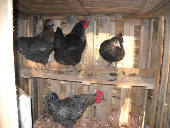 Say Hi To My New Chickens by ChipmunkFan19