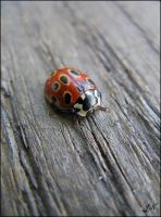 Coccinellidae by JoannaMoory