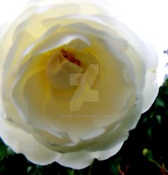 Albino Rose by Scr1b3