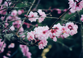 Blossom by cindywebbphotography