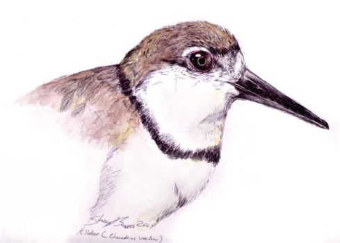 Killdeer sketch by Andalgalornis