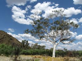 East MacDonnells - Central Australian Ghost Gum by TricoloreOne77