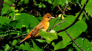 Summer Tanager 002 by Elluka-brendmer