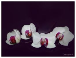 Orchid....5 by gintautegitte69