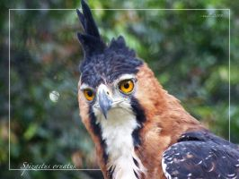 Ornate Hawk-Eagle by hmdll