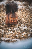 Squirrel munching by denisjelec
