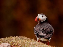 Puffin 2 by shaunthorpe
