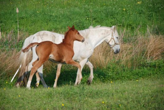 Mare and foal 03 by rosemontstock