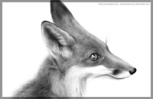 The fox by VulpesObscurus