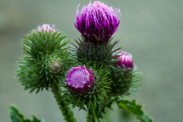 Thistle in bloom by Greencz
