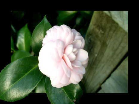 Camellia by drums-tech