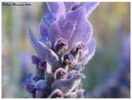 Macro Lavender by BreeSpawn