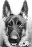 German Shepherd Portrait by Yankeestyle94