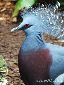 Victoria crowned pigeon I by la-mahar