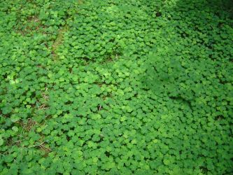 Wood Sorrel by Oniroid