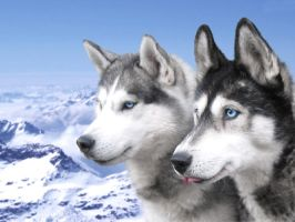 Siberian Huskies by JusticeLeague5
