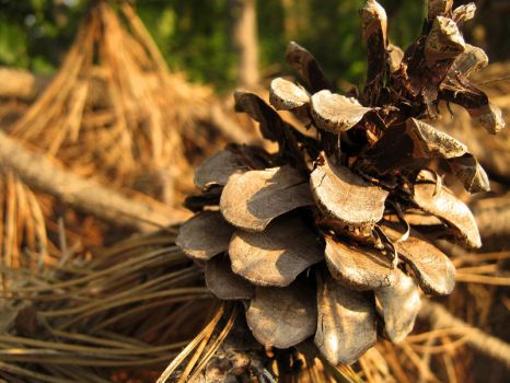 Pine Cone by NickoTyn