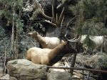 Elk Stock by CelticStrm-Stock by CelticStrm-Stock