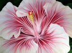 Hibiskus II by GreenMusic