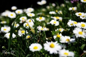 smelling like daisies by Flairen