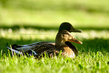 Duck Love by YellowEleven