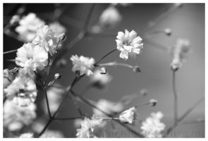 gypsophila. by Infinite-Starlight