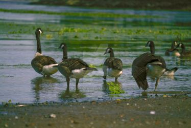 Geese, Port Ewen by peccata