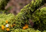 Witches Butter and Baby moss by Carriannef