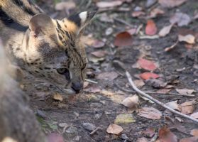 Lurking Serval by Shiryu37