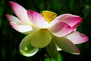 Water Lily by Xercesa