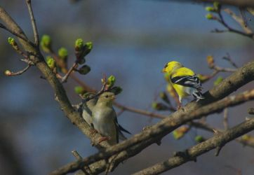 Goldfinch Pair by barcon53
