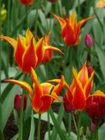 Tulips23 by Otoff