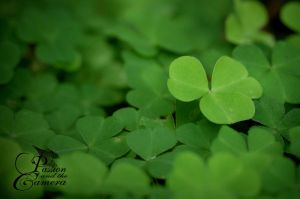 Green Clover by PassionAndTheCamera