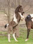 Rearing Gypsy Vanner Cross Foal - Stock by Synyster-Stock