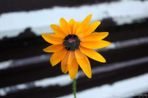 Yellow Flower by gopherboy76