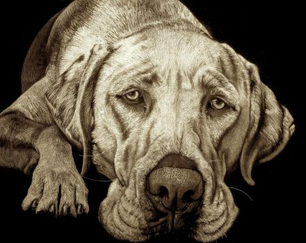 Labrador portrait by JacopoPfrang