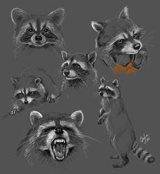 Racoon - sketches by DafnaWinchester