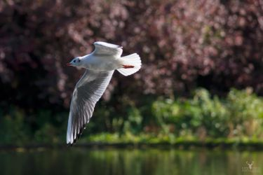 Grey Wing Over The Lake by Lady---Vengeance