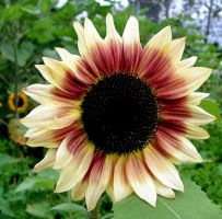 Red and Yellow Sunflower by JocelyneR