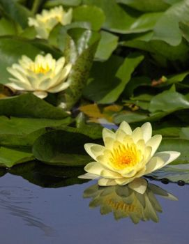 Vain Little Waterlily by AgiVega