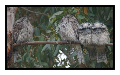 Frogmouth Family Fun by rosiescape