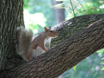 Brown Squirrel by laurelrusswurm