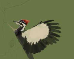 Pileated Woodpecker WIP1 by bonbon3272