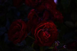 Red Roses by IvaxXx