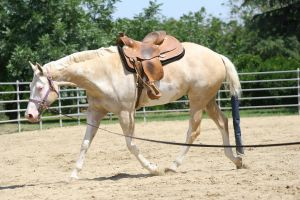 Palomino Paint Mare Western by HorseStockPhotos