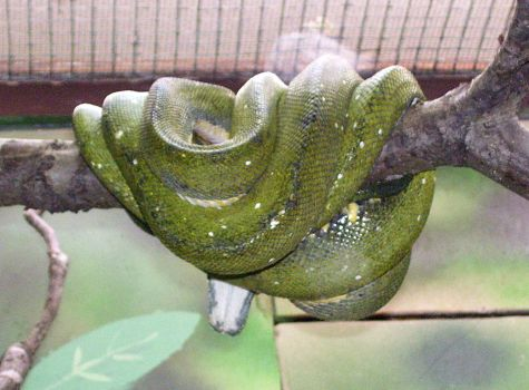 constrictor snake by turtledove-stock