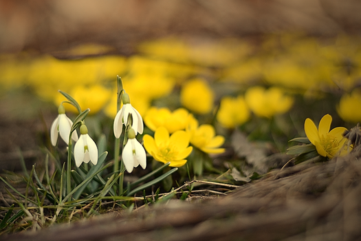 Early snowdrops by ThaliaNoldor