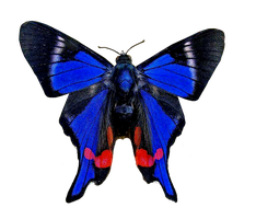 Blue Red Butterfly 670 png by xybutterfly