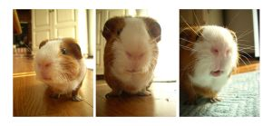 Expressions of a Guinea Pig by soyrwoo