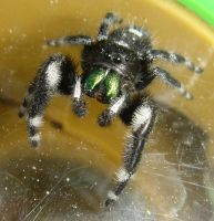 Green Fanged Jumping Spider by woodythrower
